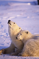 Polar bear (Ursus maritimus) sow with yearling cub.