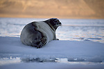 A Bearded Seal lies on a small patch ice.