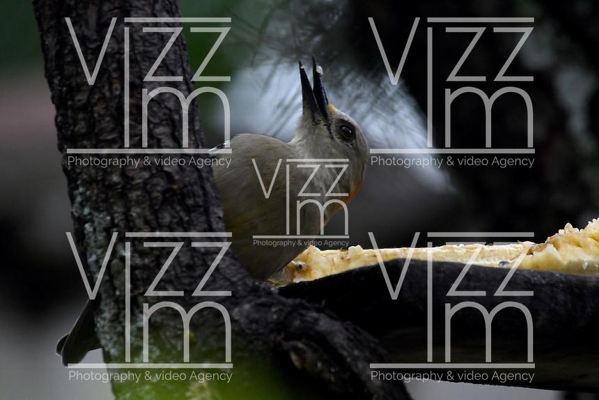 CALI – COLOMBIA - 25-11-2016: Pajaro Carpintero Habado, especie de ave presente en el norte de Cali. / Habado Woodpecker, bird species present in north of Cali Photo: VizzorImage / Luis Ramirez / Staff.
