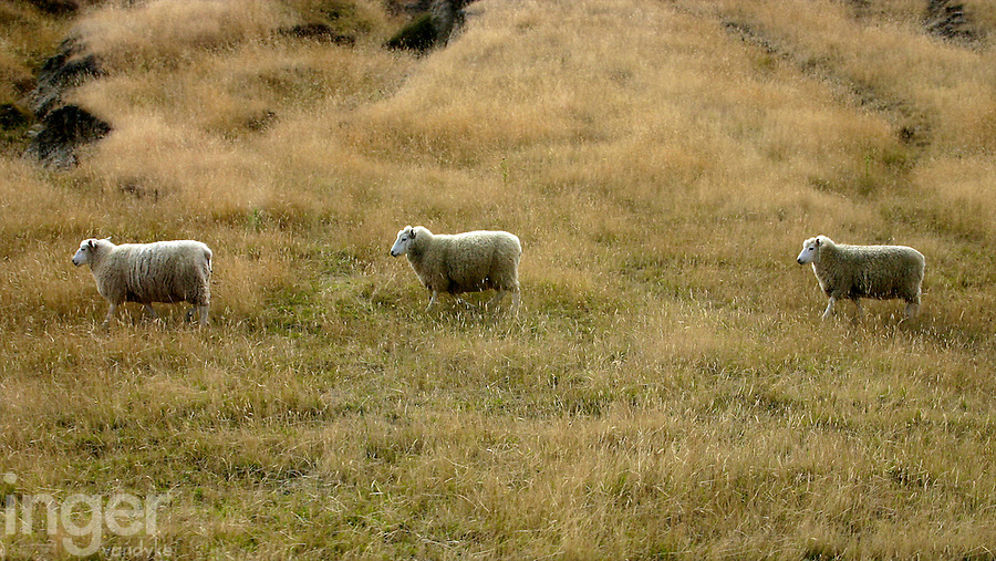 Three Sheep Running near Cape Kidnappers, New Zealand