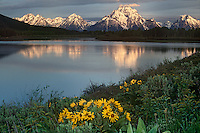 749451006 summer sunrise highlights mount moran and the teton range with reflections in the snake river at oxbow bend with arrowleaf balsamroot balsamhoriza sagittata flowering in the foreground on a peaceful morning in grand tetons national park wyoming