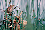 Long-billed Marsh Wren on nest, Skagit River Estuary, Puget sound, Washington State, Pacific Northwest, Cistothorus palustris;