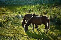 Wild Spanish grazing, Outer Banks, North Carolina, USA