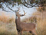 Whitetail buck at a licking branch in Montana during the fall rutting season