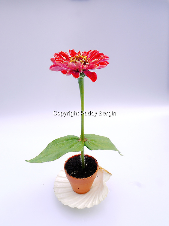 Zinnia is a genus of 20 species of annual and perennial plants of the family Asteraceae. They are native to scrub and dry grassland in an area stretching from the Southwestern United States to South America, with a centre of diversity in Mexico. Members of the genus are notable for their solitary long-stemmed flowers that come in a variety of bright colors. The genus name honours German botanist Johann Gottfried Zinn (1727–59).<br /> <br /> Zinnias are popular garden flowers because they come in a wide range of flower colours and shapes, and they can withstand hot summer temperatures, and are easy to grow from seeds.<br /> <br /> Stock Photo by Paddy Bergin
