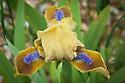 Unknown bearded iris, early May. Possibly 'Eramosa Oompa-Looma', 'Aladdin's Flame, 'Beach Baby'...