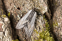 Pergament-Zahnspinner, Pergamentspinner, Pergament-Spinner, Pergamentzahnspinner, Weibchen, Harpyia milhauseri, Hybocampa milhauseri, Hoplitis milhauseri, tawny prominent, female, Le Dragon, Zahnspinner, Notodontidae, prominents