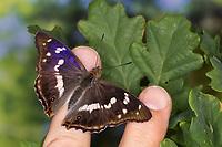Großer Schillerfalter, Männchen, je nach Lichteinfall mit unterschiedlich sichtbarem Blauschiller, saugt Schweiß auf der Hand auf, Apatura iris, Purple Emperor, male, Le Grand Mars changeant