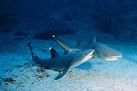 male whitetip reef shark, Triaenodon obesus, bites female during courtship, Cocos Island, Costa Rica, East Pacific Ocean