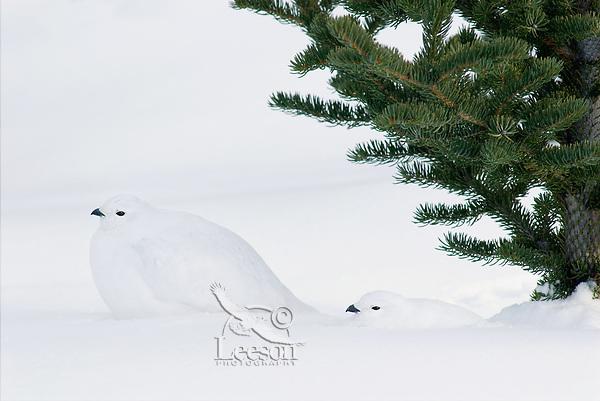 White-tailed Ptarmigans (Lagopus leucurus) in winter snow.