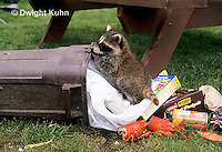 MA22-001x  Raccoon - young animal exploring, finding food in garbage can - Procyon lotor