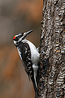 Hairy Woodpecker (Leuconotopicus villosus). Deschutes County, Oregon. May.