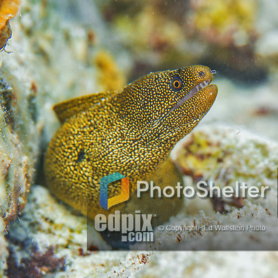 25 January 2016:  A Goldentail Moray Eel (Gymnothorax miliaris) peeks out of a coral outcropping in 14 feet of water at Captain Don's Habitat in Bonaire. Bonaire is known for its pioneering role in the preservation of the marine environment. A part of the Netherland Caribbean Islands, Bonaire is located off the coast of Venezuela and offers excellent scuba diving, snorkeling and windsurfing.  Mandatory Credit: Ed Wolfstein Photo *** RAW (NEF) Image File Available ***