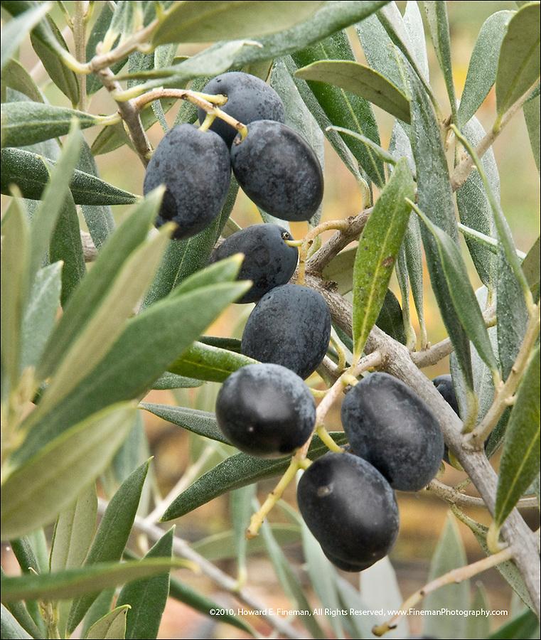 Olive harvest time in Sonoma