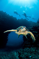 An endangered species, green sea turtles, Chelonia mydas, are a common sight around Hawaii, USA, Pacific Ocean This individual is pictured in front of an archway outside First Cathedral off the island of Lanai. (dc)
