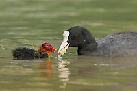 Eurasian Coot (Fulica atra), adult feeding young with bread, Switzerland