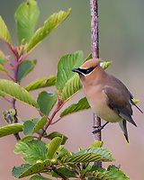 Cedar Waxwing (Bombycilla cedrorum). Pacific Northwest. Summer.