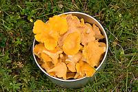 Echter Pfifferling, Eierschwamm, Cantharellus cibarius, Ernte, Pilze im Topf, Outdoor, chanterelle