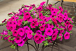 PETUNIA 'WAVE PURPLE IMPROVED' IN POT ON TABLE