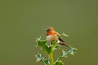 Male Rufous Hummingbird sitting atop holy bush.  Pacific Northwest.
