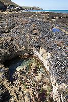 Gezeitentümpel, Rockpool, Lithotelme, Rockpools, Lithotelmen, Felsküste, Felsküsten, Küste, Meesesküste, Gezeiten, Ebbe und Flut, Niedrigwasser. Tide pools, rock pools, Tide pool, rock pool. Frankreich, Bretagne. Steinseeigel, Stein-Seeigel, sitzt in selbst in den Fels gegrabenen Mulden, Paracentrotus lividus, Strongylocentrotus lividus, Toxopneustes lividus, purple sea urchin, rock sea urchin, L'Oursin violet, Seeigel, Echinoidea, Sea urchins, urchins, sea hedgehogs, Échinioïdes, Échinides, Oursins, Hérissons de mer, Châtaignes de mer. Gemeine Miesmuschel, Muschelbank, Mytilus edulis, bay mussel, common mussel, common blue mussel