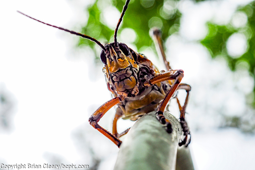 Southeastern Lubber Grasshopper after a rain shower, Olympus OMD EM1 MarkIII with M. Zuiko 30mm macro f3.5 lens. (Photo by Brian Cleary/ www.bcpix.com )