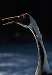 White-naped Crane captive/breeding