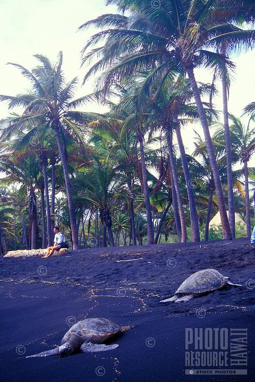 Sea turtles on black sand beach Punaluu on Big Island