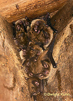 MA20-530z  Little Brown Bats, Myotis lucifugus
