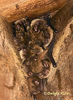 MA20-530z  Little Brown Bats, Myotis lucifugus
