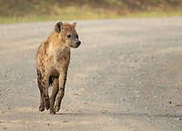 Spotted Hyena, Crocuta crocuta, walks on a dirt road in Lake Nakuru National Park, Kenya