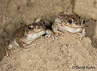 1101-0813  Pair of Adult Red-spotted Toad in Desert (Southwestern United States), Anaxyrus punctatus, formerly Bufo punctatus  © David Kuhn/Dwight Kuhn Photography.