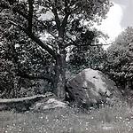 Oak tree and Boulder in Barre, MA
