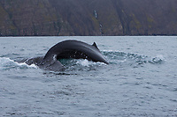 Buckelwal, Finne und Fluke, Buckel-Wal, Wal, Wale, Megaptera novaeangliae, humpback whale, dorsal fin and fluke, La baleine à bosse, la mégaptère, la jubarte, la rorqual à bosse, Walsafari, Walbeobachtung, Island, whale watching, Iceland