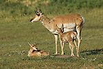 A mother pronghorn antelope watches over her two fawns in South Dakota.