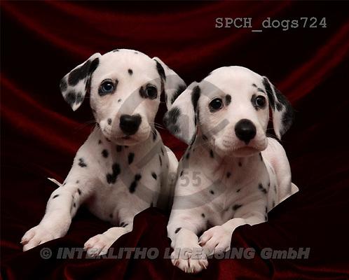 Xavier, ANIMALS, dogs, photos(SPCHdogs724,#A#) Hunde, perros