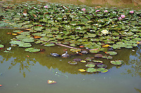 Laghetto con ninfee. Pond with water lilies......