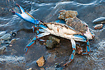 Blue crab in defensive posture raising claws in defense of a perceived intruder.