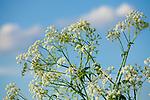 Europa, DEU, Deutschland, Nordrhein-Westfalen, Niederrhein, Krefeld, Gewoehnliche Wiesen-Schafgarbe (Achillea millefolium), Natur, Umwelt, Pflanzen, Pflanzenkunde, Botanik, Biologie, <br /> <br /> [Fuer die Nutzung gelten die jeweils gueltigen Allgemeinen Liefer-und Geschaeftsbedingungen. Nutzung nur gegen Verwendungsmeldung und Nachweis. Download der AGB unter http://www.image-box.com oder werden auf Anfrage zugesendet. Freigabe ist vorher erforderlich. Jede Nutzung des Fotos ist honorarpflichtig gemaess derzeit gueltiger MFM Liste - Kontakt, Uwe Schmid-Fotografie, Duisburg, Tel. (+49).2065.677997, ..archiv@image-box.com, www.image-box.com]