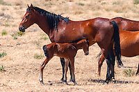 A mare and its colt along the Pony Express Trail in Central Utah