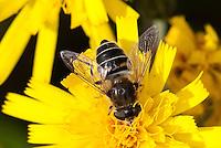 Mittlere Keilfleckschwebfliege, Keilfleck-Schwebfliege, Weibchen, Eristalis interrupta, Eristalis interruptus, hoverfly, female