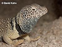 0612-1004  Male Great Basin Collared Lizard (Mojave Black-collared Lizard), Mojave Desert, Crotaphytus bicinctores  © David Kuhn/Dwight Kuhn Photography