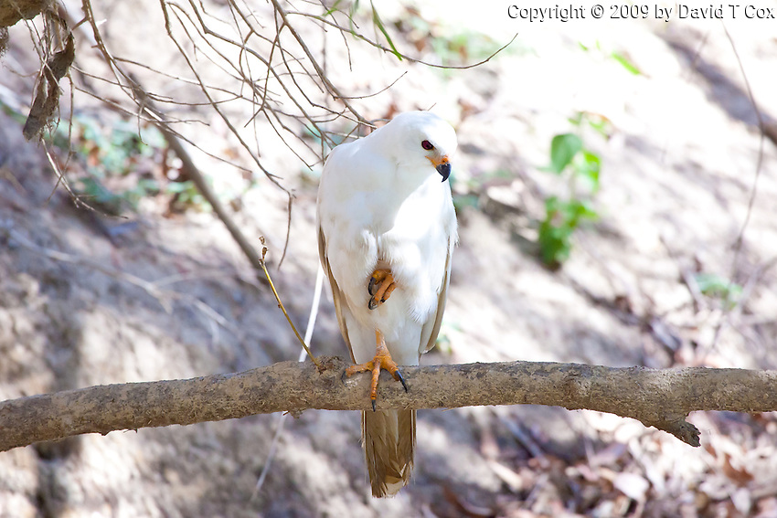 Grey Goshawk White Morph, Mary River, Kakadu NP, NT, Australia