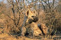 Spotted Hyaena (Crocuta crocuta), Kruger National Park, South Africa, Africa