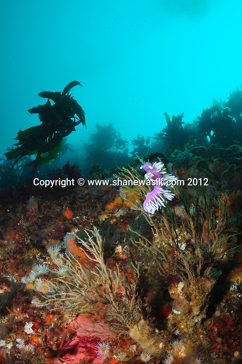 A typical reef scene around 20-25m, below the full kelp zone. A nudibrach (sea slug) is feeding.
