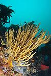 A large finger sponge (Lophon proximum) at Astrolabe Reef.