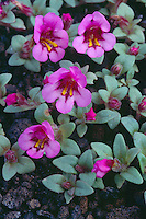 Dwarf monkeyflower<br /> Loop Road<br /> Craters of the Moon National Monument<br /> Butte County,  Idaho