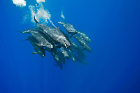 False killer whale (pseudorca crassidens) A typiclally tightly bunched group of false killer whales. Azores.