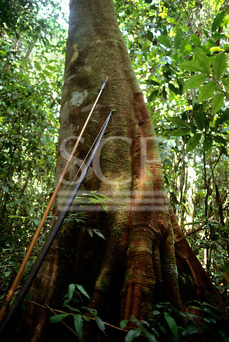 Roraima, Brazil. Yanomami bow and arrow leaning against a tree in the forest.