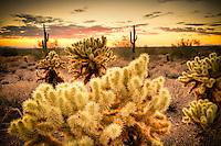 Teddy Bear Cholla Sunset - Arizona